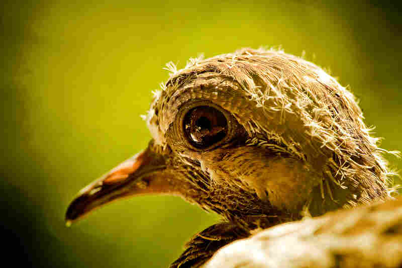 """Soft morning light highlights the head of a pigeon hatchling on my second story windowsill."""