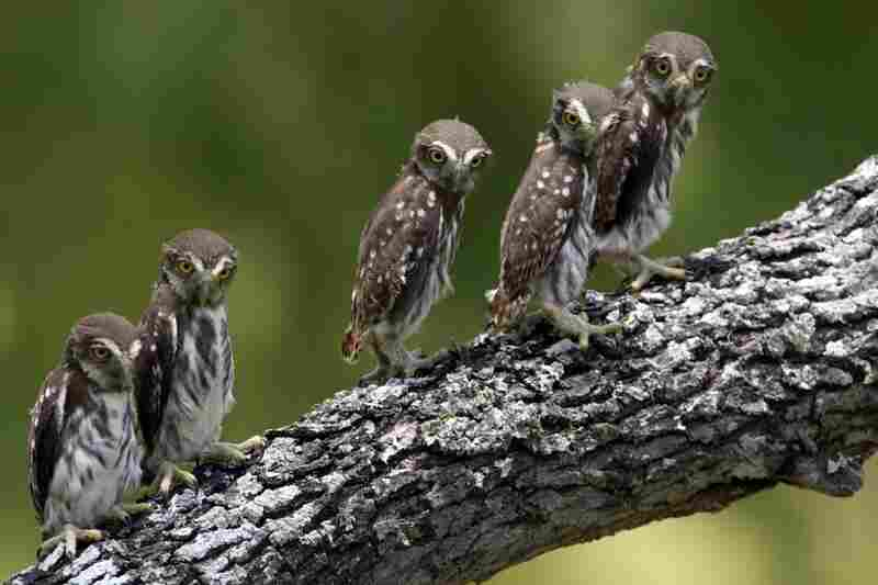 Ferruginous pygmy owl chicks