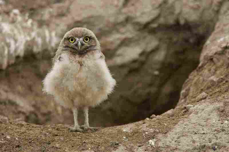 A burrowing owl.
