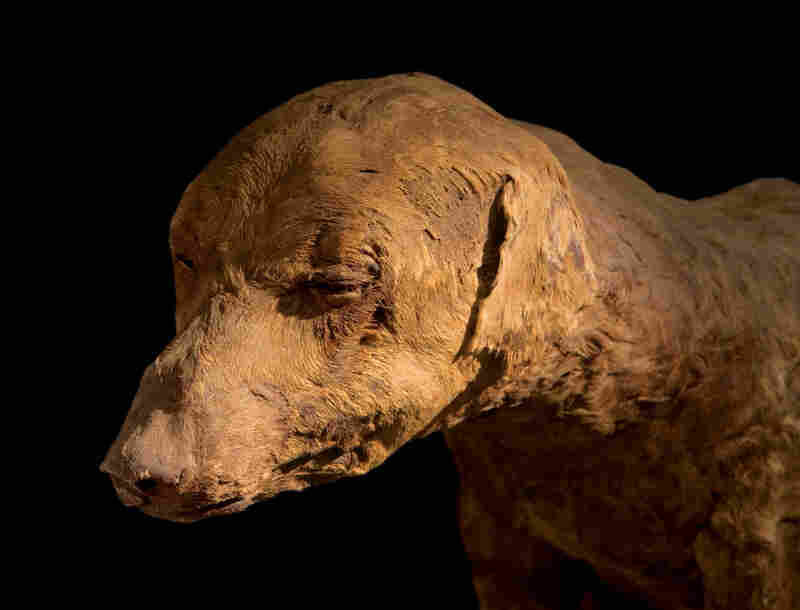 A hunting dog, whose bandages fell off long ago, was likely the pet of a pharaoh.