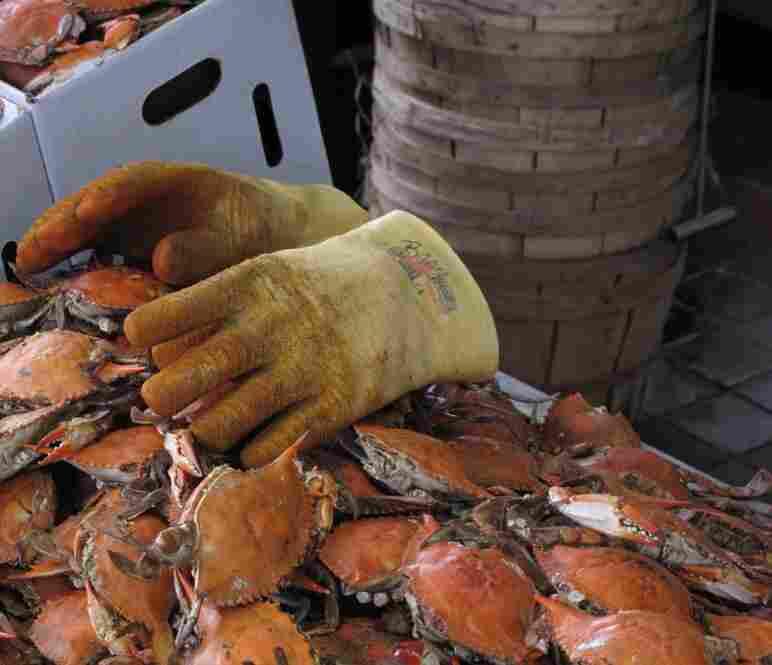 Phantom crab gloves.