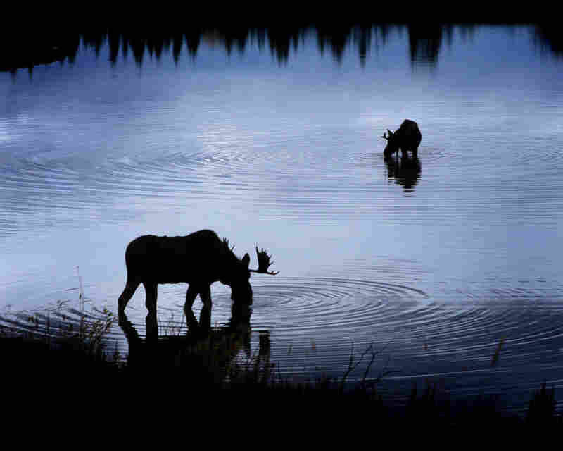 Two moose finish their last meal of the day as the sun sets along the Snake River in Wyoming.