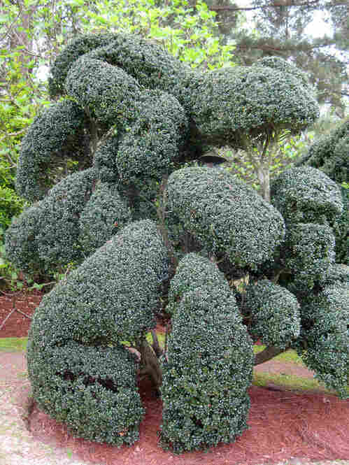 Like all of his elaborate designs, this topiary knot did not start as a sketch. Fryar just started trimming.