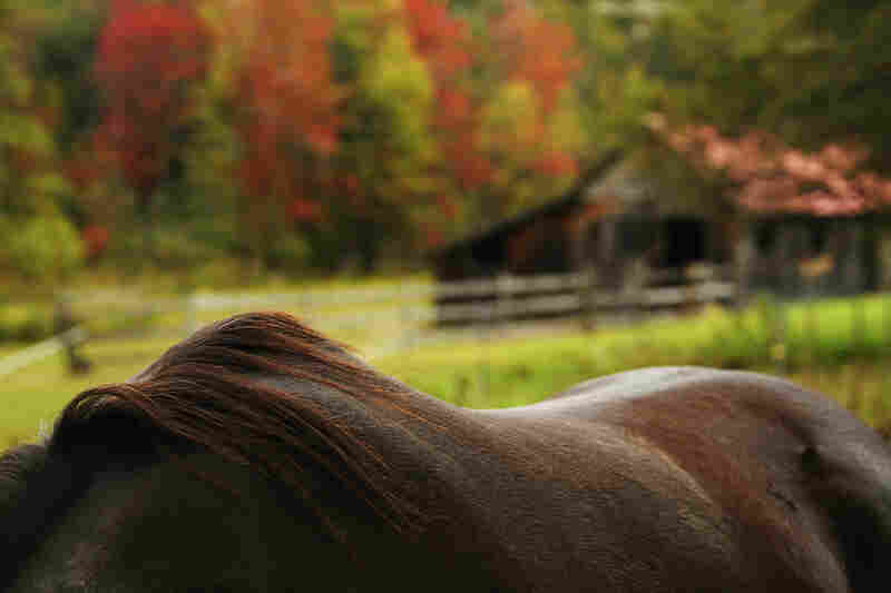 The fall foliage in North Sutton, N.H., is framed by a horse's mane.