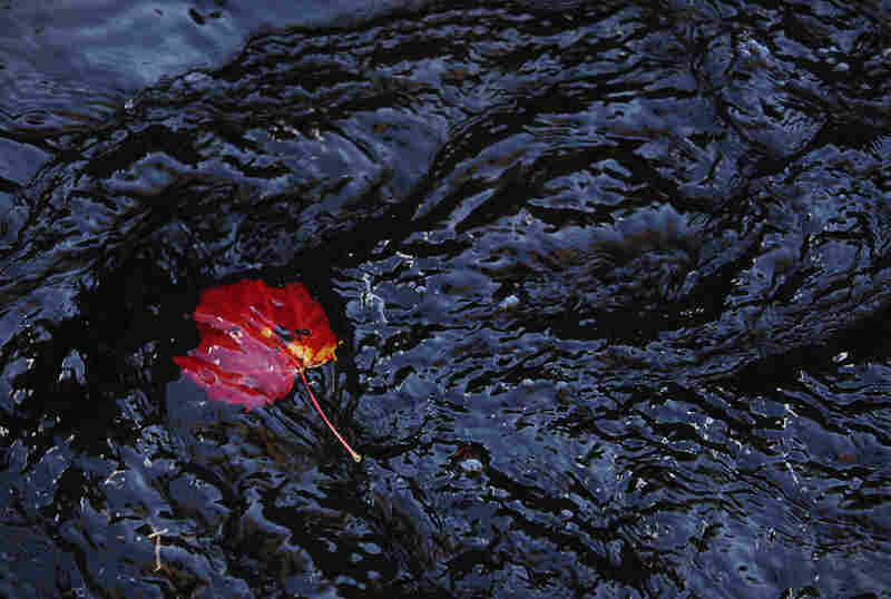 A red maple leaf catches on a rock in the Otter Brook near Keene, N.H.