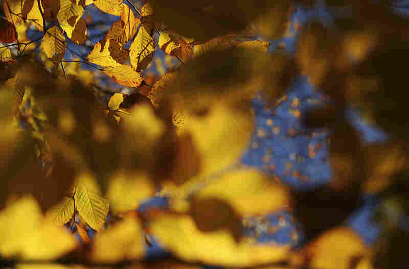 Yellow birch leaves turn golden in Warner, N.H.