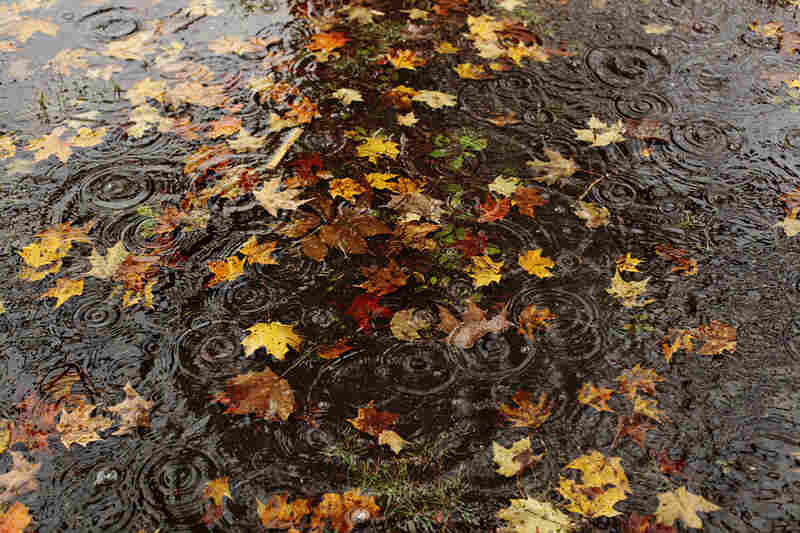Fall leaves collect in a puddle of rainwater in Hopkinton.