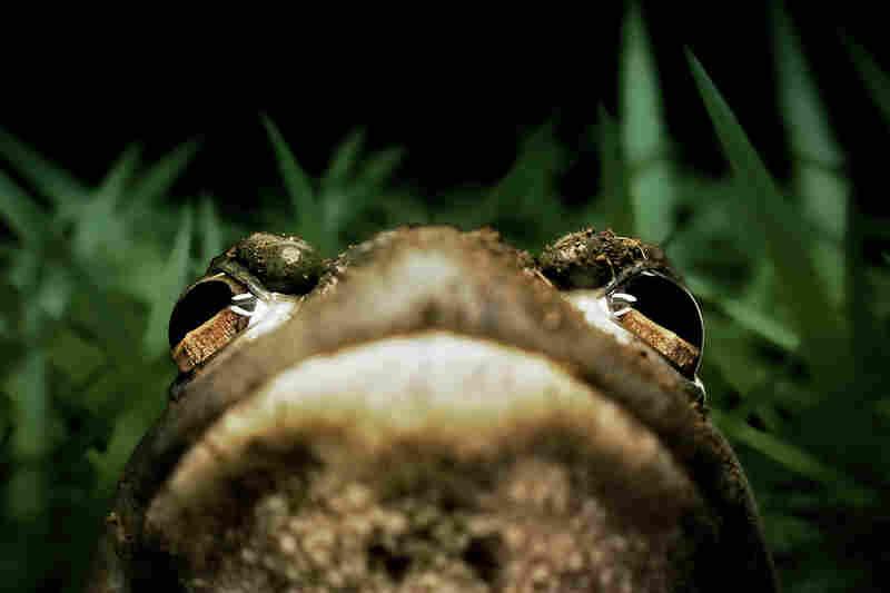 """""""American bullfrog"""""""
