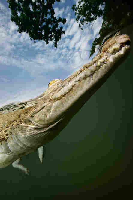 """A saltwater crocodile lounges motionless at the surface near shore."""