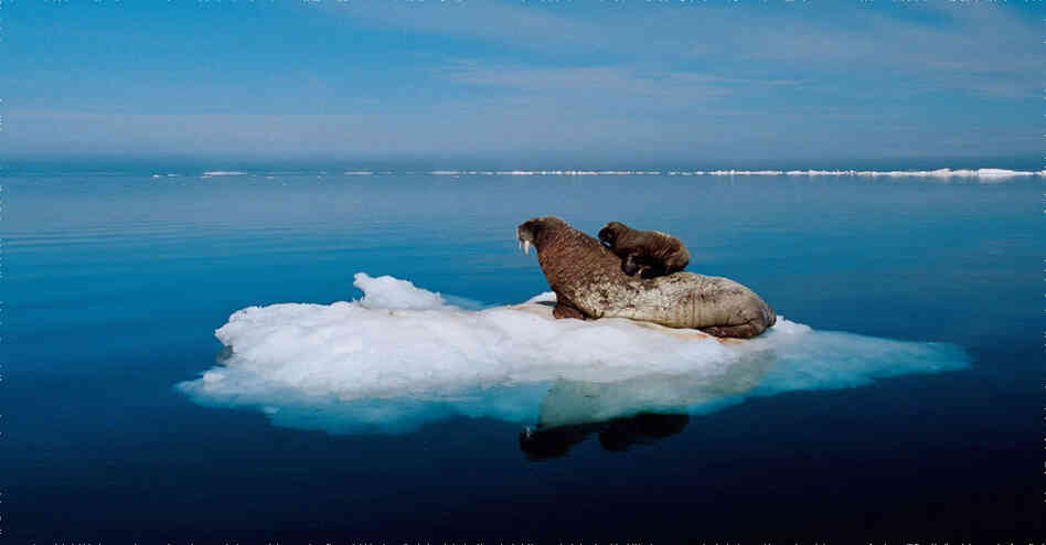 Raised in an Inuit community, Paul Nicklen has had an affinity for both the cold and for outdoor adventure from a young age. Today he travels to remote polar locations to capture rare scenes. In this photo, a mother walrus and her newborn pup rest on a piece of multiyear ice in Foxe Basin north of Hudson Bay in Nunavut, Canada.