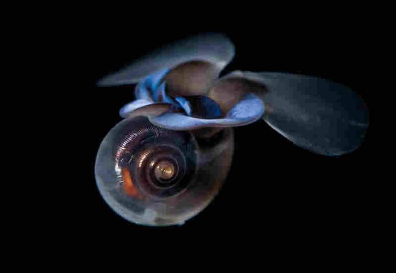 With all the attention received by polar bears and penguins, it's easy to forget the other important species in polar ecosytems. Here, a winged pteropod feeds in the open water.