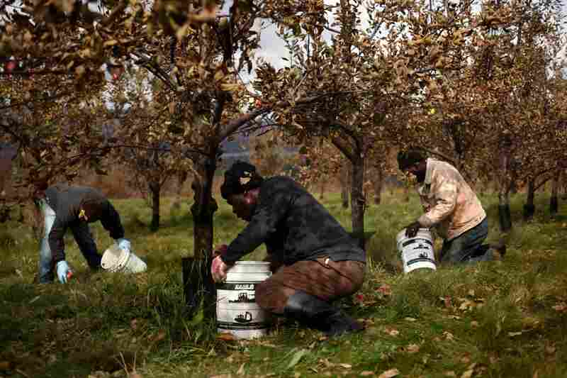 The apple pickers work steadily throughout the day, stopping only for a lunch break.