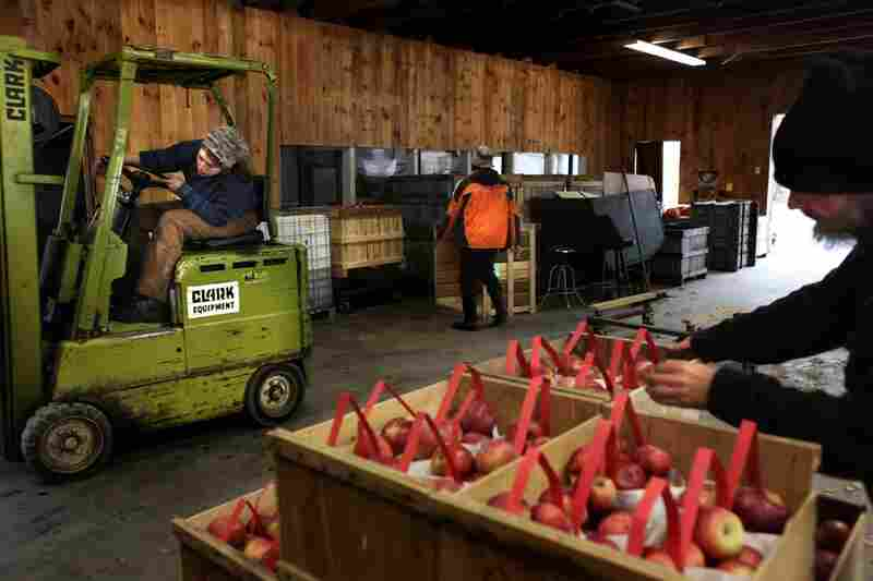Jess Saturley (left), Dwayne Webster and Gerlack stack and move crates of apples in the packing room at Poverty Lane Orchards.