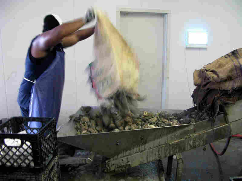 At many old-line restaurants, oysters go from burlap boat sacks to raw bar. But these are headed for a hot-water bath at the AmeriPure oyster pasteurization plant in Franklin, La.