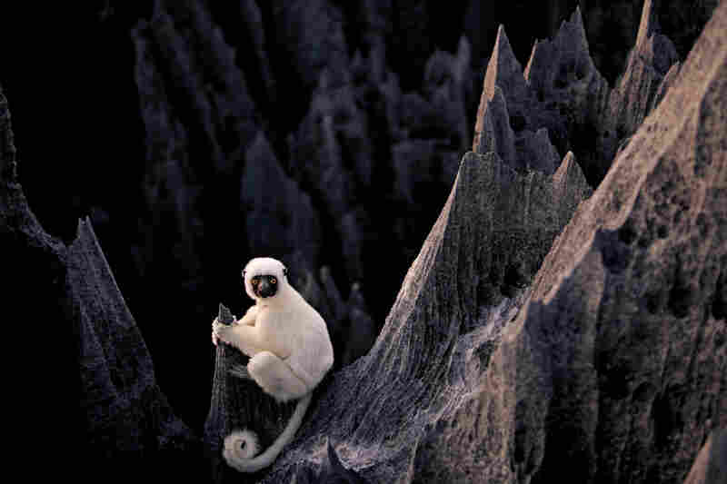 Unexplored passages of tsingy shelter some of the island's — and the world's — strangest species, including the ghostly white lemur called a Decken's sifaka, and a host of reptiles, insects and plants.