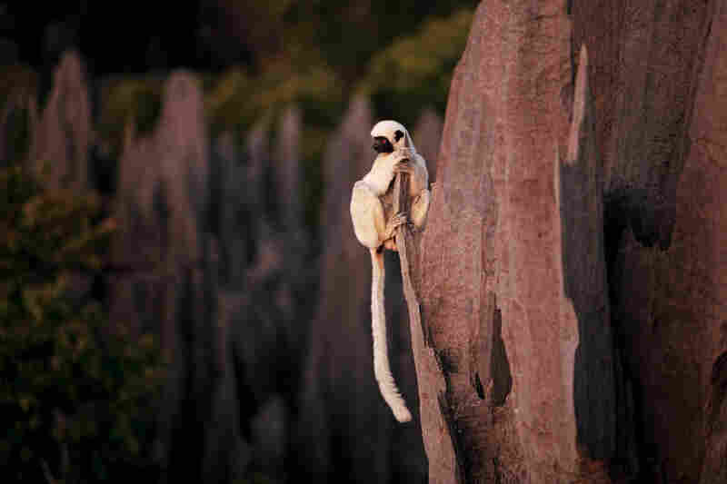 Like other lemurs, Decken's sifakas probably live in small family groups. Little is known about their behavior, but evolution has equipped them with thick pads on their hands and feet, which help them to navigate their craggy home.