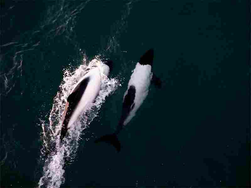 A pair of Commerson's dolphins ride the bow wave of the ship. Dozens of the dolphins visited the ship on its way through the Straits of Magellan.