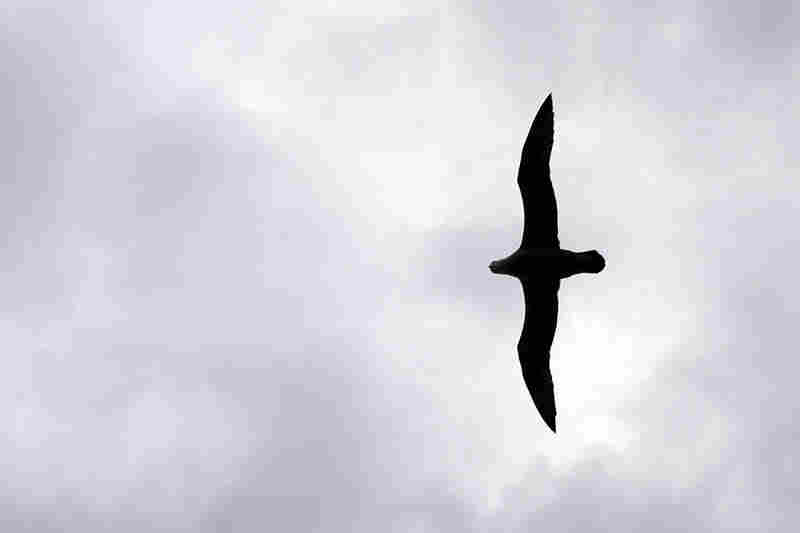 Soaring directly above the ship, this great-winged petrel shows off its impressive wingspan. Great-winged petrels' wingspan can reach 38 inches in length, more than twice their body size.