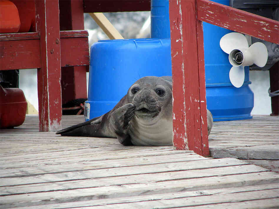A young female elephant seal makes itself at home on Palmer Station's boat ramp.