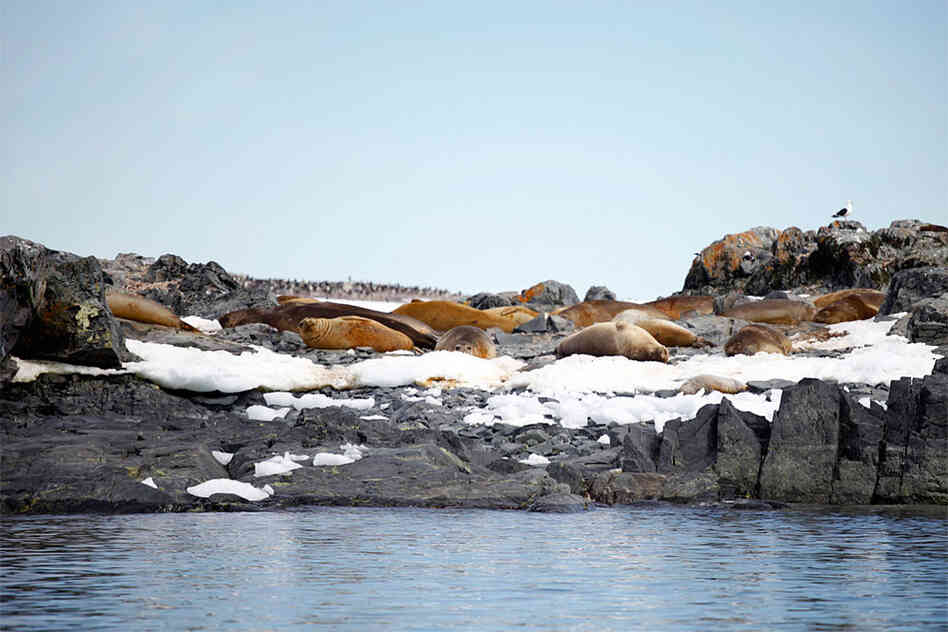 There are several colonies of elephant seals near Palmer Station. This one is on a small island called Elephant Rock.
