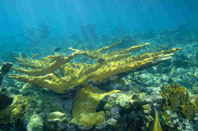 Large formations of elkhorn coral grace the reef. Elkhorn coral is a species that has nearly died off in the Florida Keys.