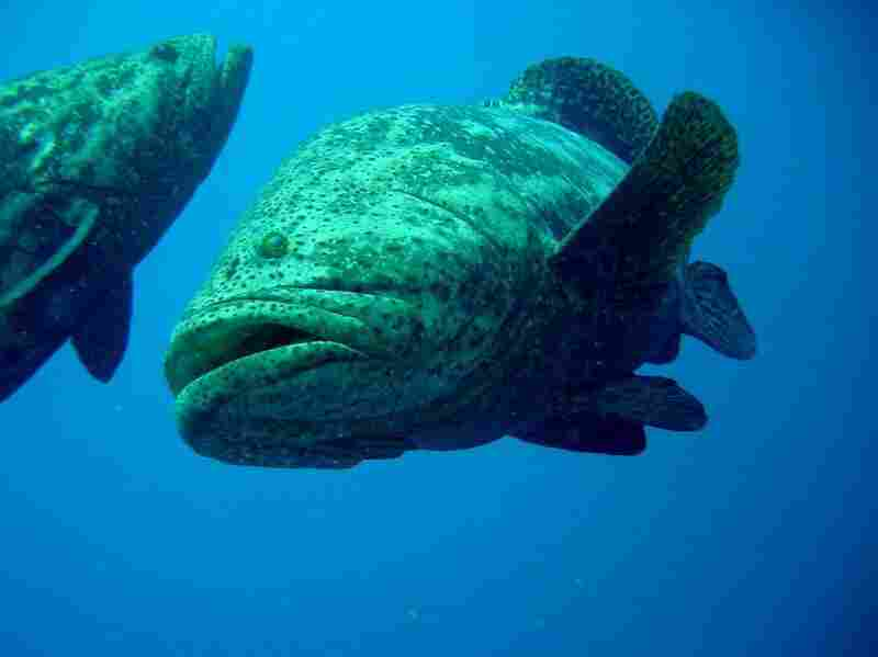 "Goliath grouper can weigh over 800 pounds when fully mature. American scientist David Guggenheim describes Los Jardines de la Reina as a sort of ""Jurassic Park."" (Courtesy of Noel Lopez)."