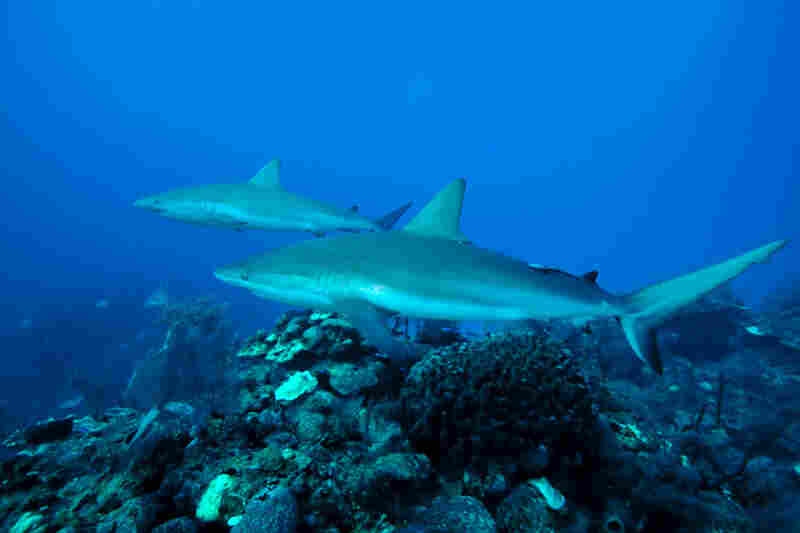 Sharks such as these Caribbean reef sharks are a good sign of a healthy ecosystem. As different fish species begin to flourish in the reserve, they will begin to leave and populate other habitats.