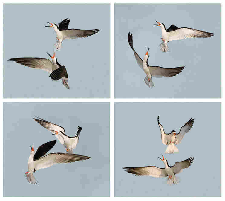 """""""Toward the end of the day in the summer breeding season,"""" Cross writes, """"pairs of black skimmers engage in fantastic aerial maneuvers."""""""