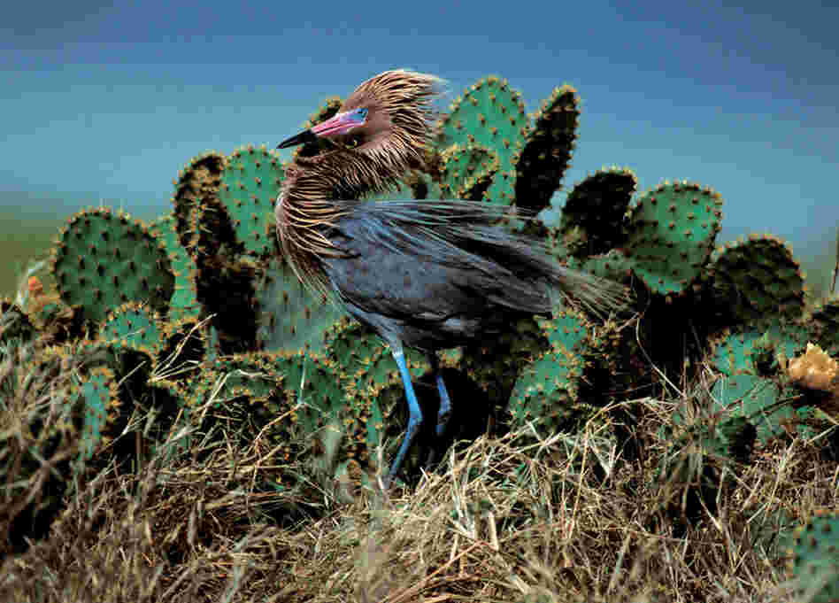 """They are one of my favorite birds,"" photographer Theodore Cross says of the reddish egret. There are two different morphs: brownish red and white."