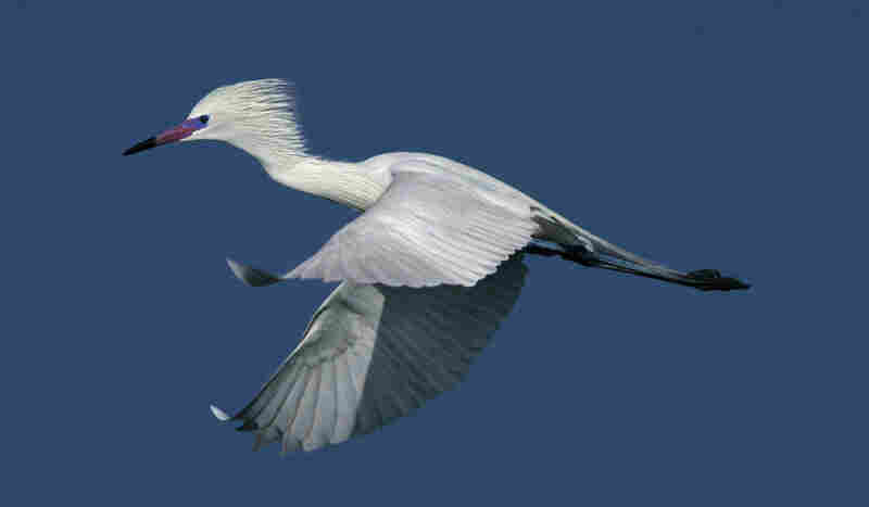 """Cross has traveled to Green Island for 30 consecutive years to capture the reddish egret. He writes that a friend once said his tombstone will read, """"He passed on to a better world still waiting for a perfect picture of a reddish egret."""""""