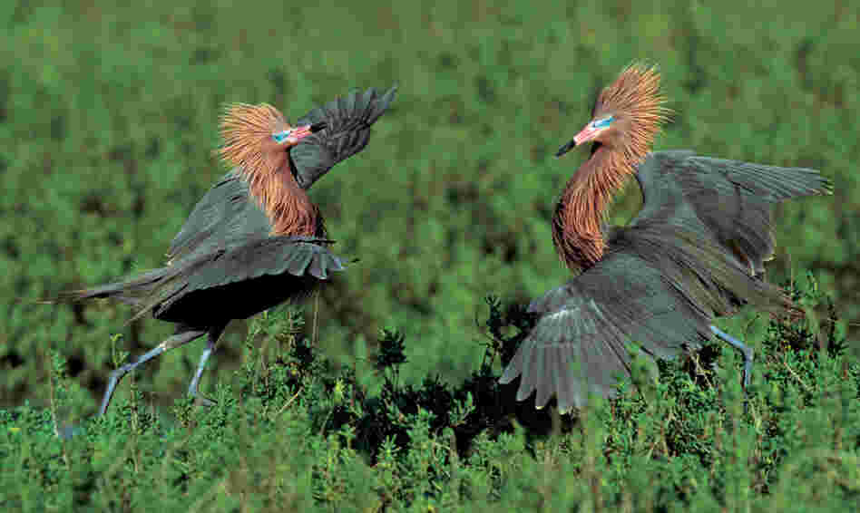 "Reddish egrets engage in a courtship ritual. They ""throw back their heads, point their bills to the sky, and parade around the nest showing off their remarkably shaggy neck feathers,"" Cross writes."