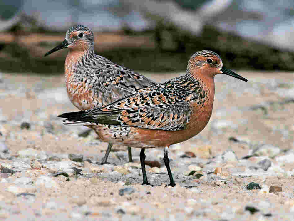 "The red knot, a robin-sized shorebird, makes an unbelievable 8,000-mile migration from Patagonia to the Canadian Arctic each year. ""It's the courage of these guys that appeals to me tremendously,"" Cross says."