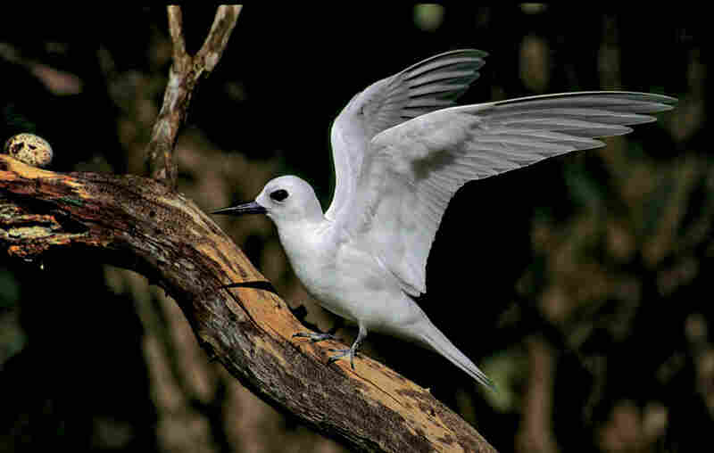 The white tern can be found on remote islands in the tropical Pacific.