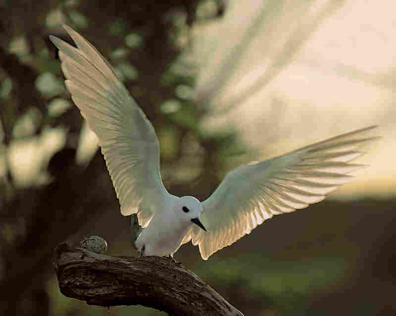 Cross writes that these gentle white terns, formerly called fairy terns, would often lay eggs near Marines' barracks, or even on gun emplacements, during World War II.