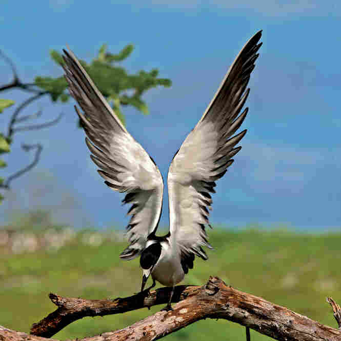"Researchers have determined that fledgling sooty terns ""take off from their birthplace and do not return to ground until they are of breeding age, five years later,"" writes Cross. These are the most abundant of all equatorial seabirds."