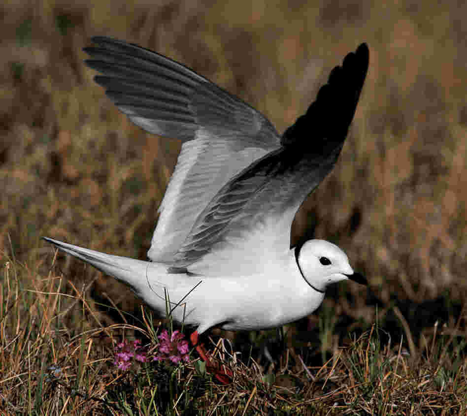 "Cross traveled to Siberia to photograph the Ross' gull: ""There may be no other bird species in the world that evokes such romantic dreams for the ornithologist or serious bird-watcher."""