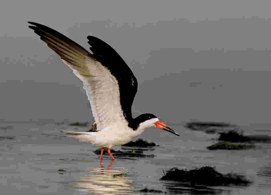 "Cross says the black skimmer is the bird with ""the most unusual design."" It is the only bird with a lower jaw that is both spring-loaded and longer than its upper beak."