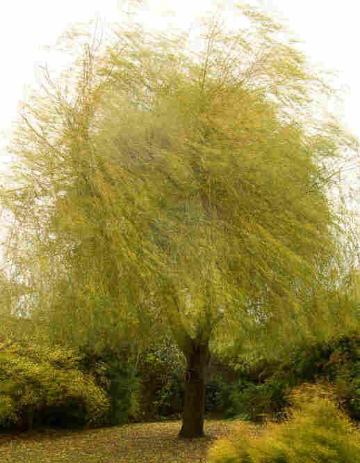 Blowing willow