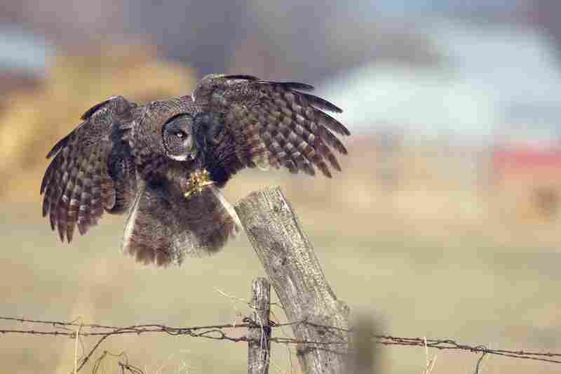 A great gray owl, also known as the great gray ghost.