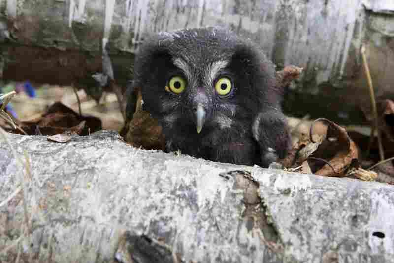 A young boreal owl