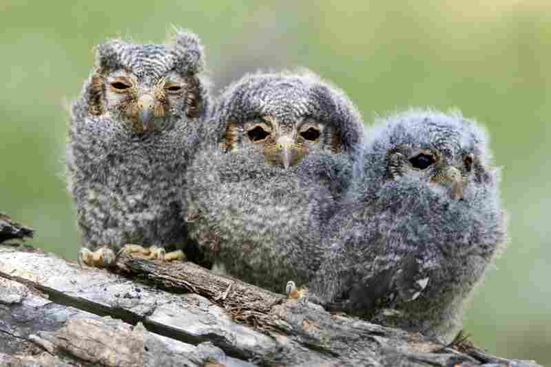 Three flammulated owl chicks
