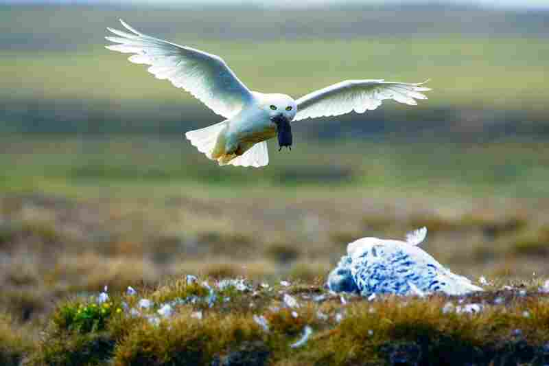 A male snowy owl glides back to the nest with a lemming on an Arctic summer night.