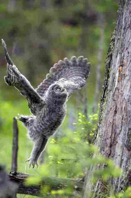 A great gray owl jumps onto a tree.