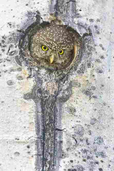 A female northern pygmy owl pops up from the depths of her cavity.