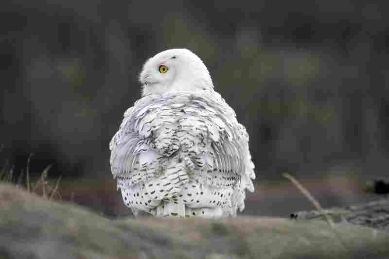A snowy owl fluffs out her feathers.