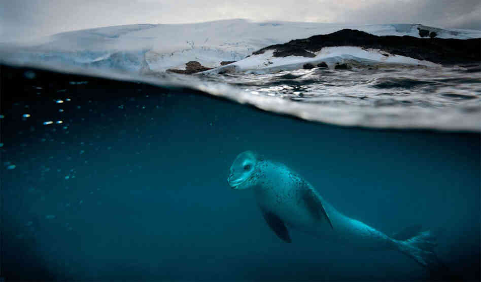A leopard seal patrols a penguin rookery near Anvers Island, Antarctica. Nicklen uses special equipment to capture images half submerged in water, with a deep depth of field above water to focus on distant landscapes, and a sharp, shallower focus on wildlife below.