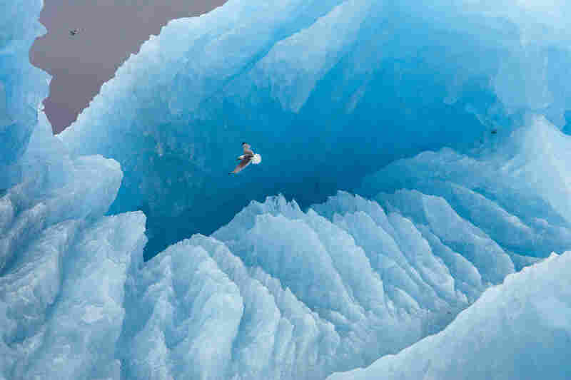 A kittiwake soars in front of a large iceberg in Svalbard, Norway.