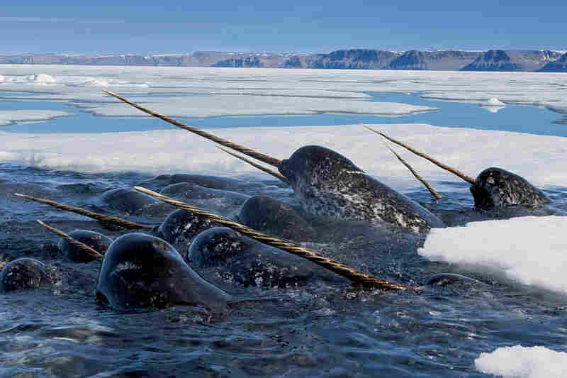 """Nicklen writes in his book, """"Of all the animals I have ever photographed, the Arctic's narwhals are the most mysterious, unusual and elusive. Because of their incredibly shy nature and advanced echolocation, underwater images of these magnificent creatures are rare."""""""