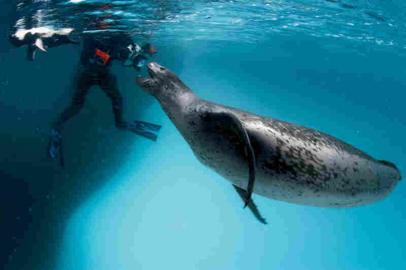 Nicklen's friend, the female leopard seal, greets a fellow adventurer near Anvers Island.