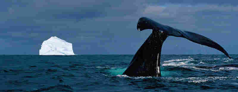 Parked on a whale's back, Nicklen barely escaped disaster by slowly backing up as the whale arched its back and curled its tail, dumping hundreds of gallons of water into his small boat. Rightfully overwhelmed, Nicklen did not snap a photo. But here, a bowhead whale dives to feed on copepods in Baffin Bay, Nunavut.